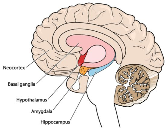 Amygdala and Anxiety